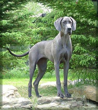 Blue Great Dane Dane Dog Great Dane Dogs Dane Puppies