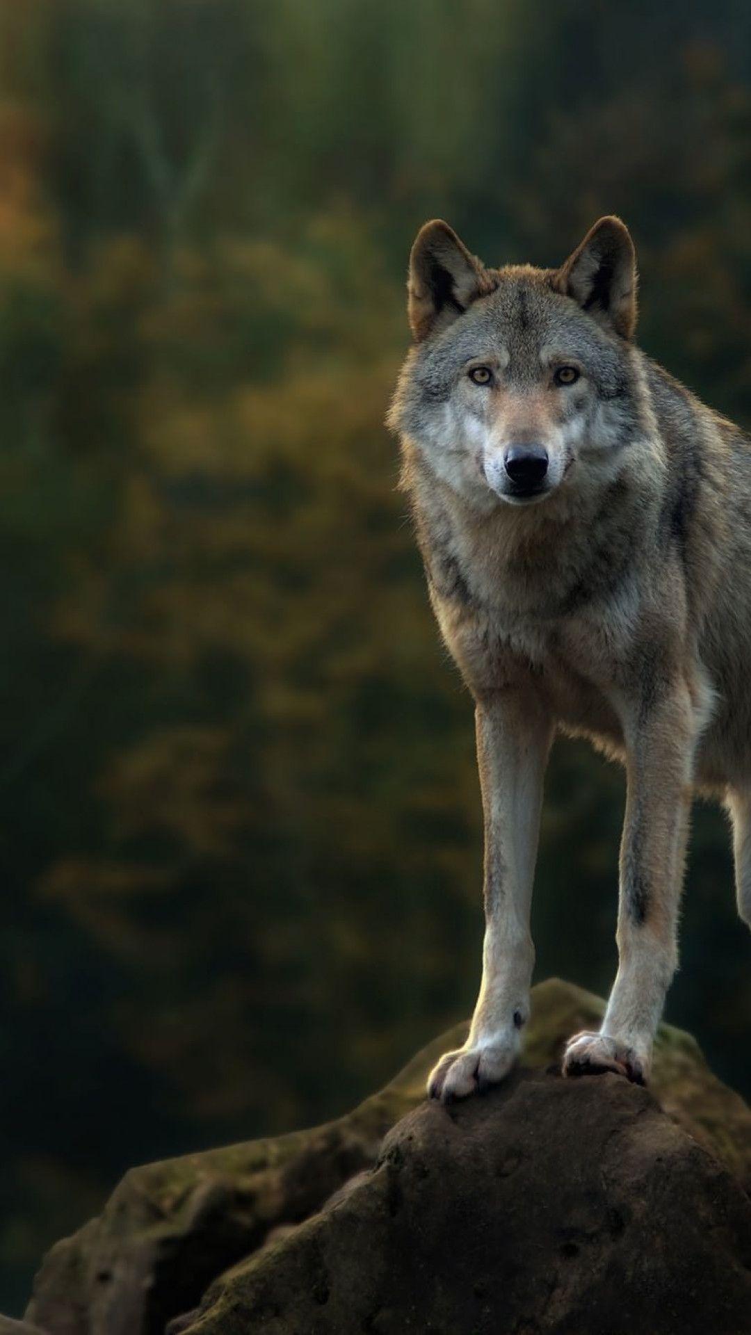 Gray Wolf Grey Wolf Wolf Photography Wolf