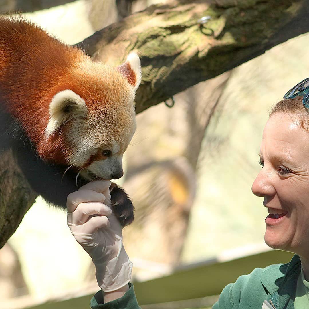 Pin By Toru Yunoki On Cute Stuff Woodland Park Zoo Red Panda Animals