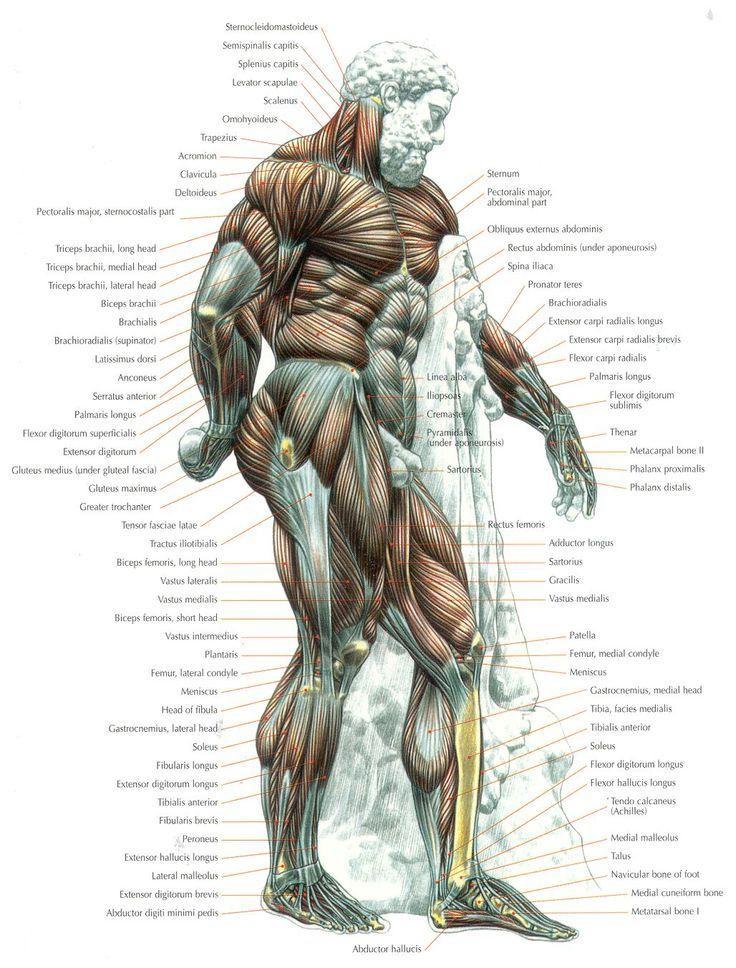 Pin By Mark Stewart On Fitness Anatomy Strength Training Fitness