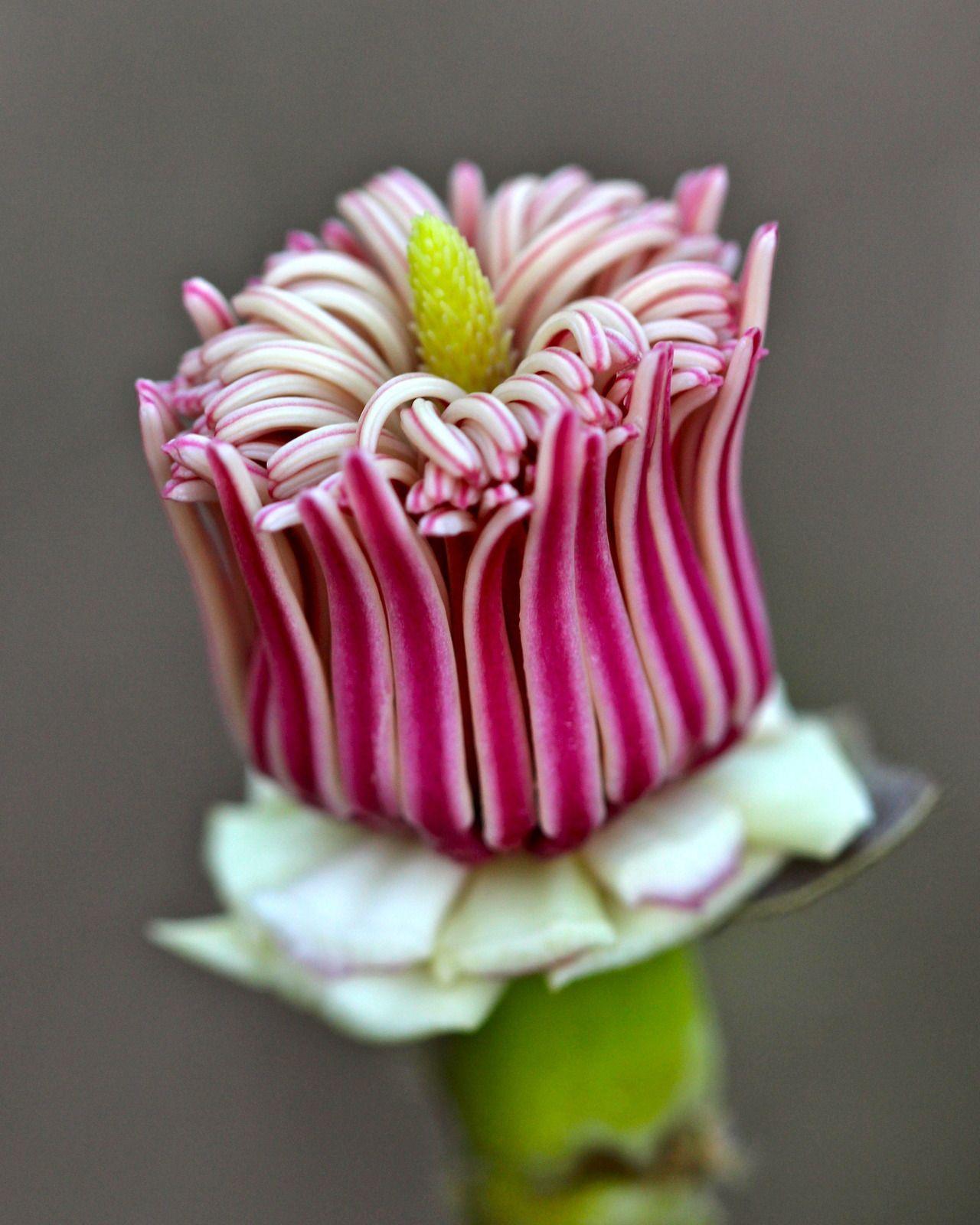 : Magnolia Flower: