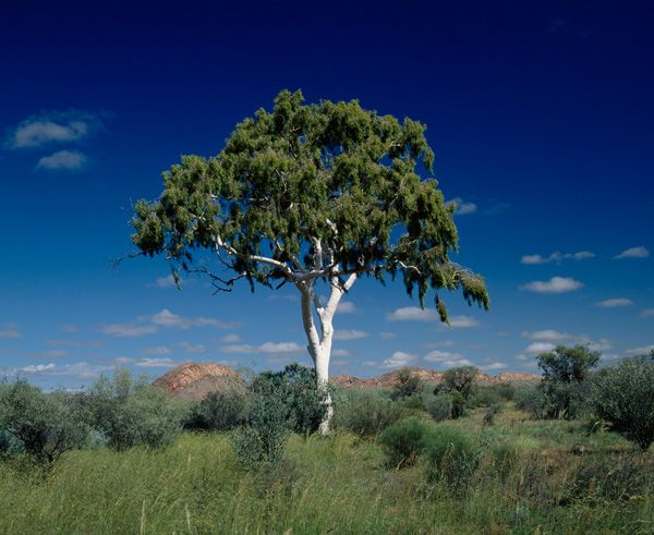 Time Line Of Gum Gumtree Australia Eucalyptus Tree Tree