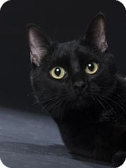 Domestic Shorthair Cat For Adoption In Denver Colorado Banksy