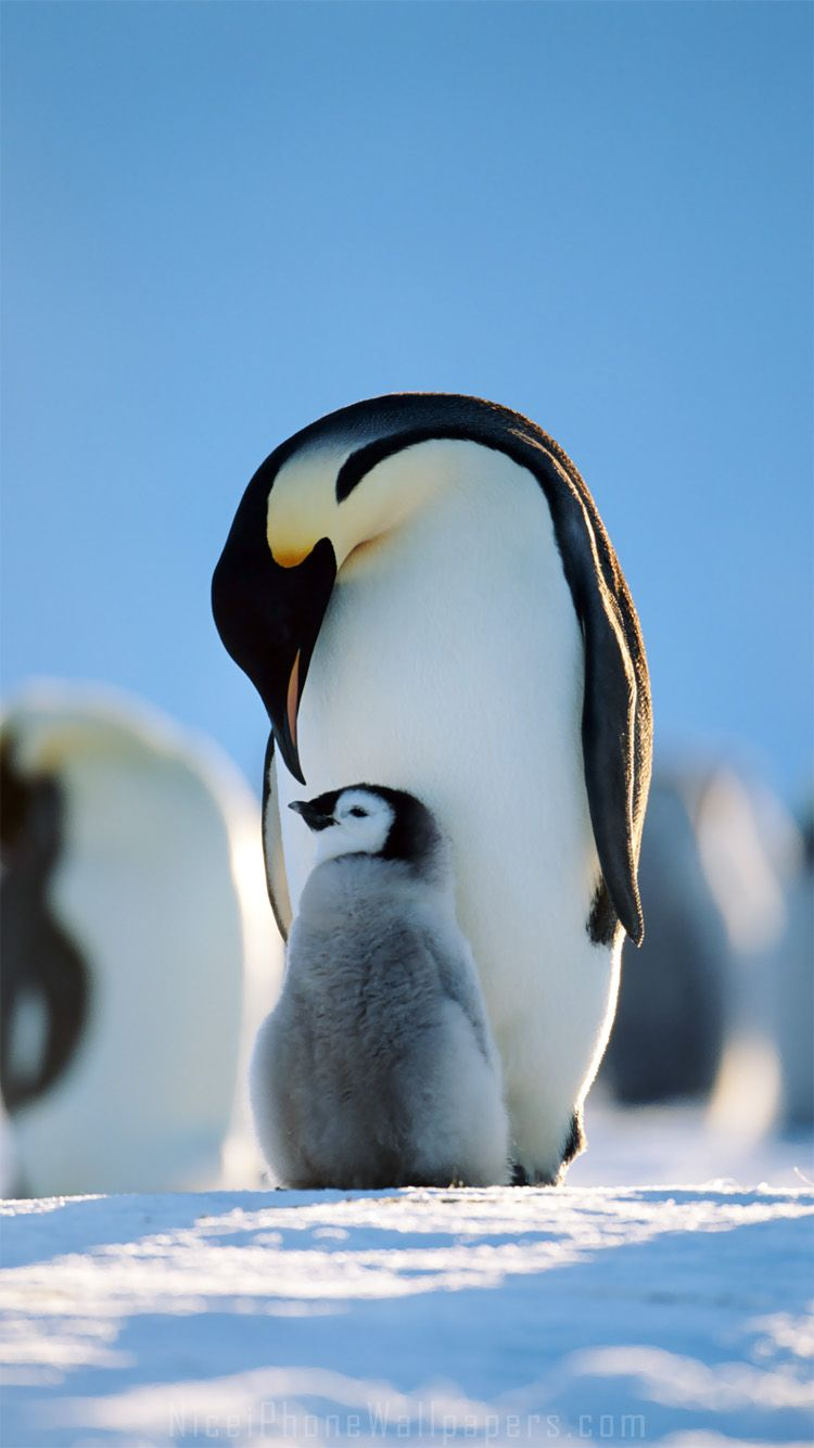Penguins Family Iphone 6 6 Plus Wallpaper And Background Penguin Wallpaper Penguins Cute Baby Animals