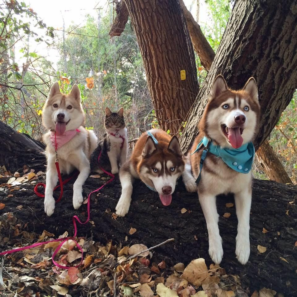 Best Buddies Meet The Cat Who Hangs Out With Her Three Husky