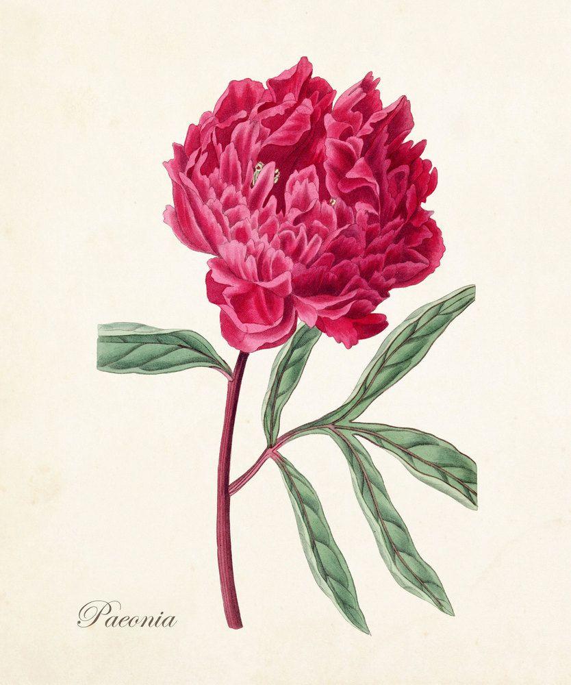 Vintage peony no botanical print giclee par bellebotanica