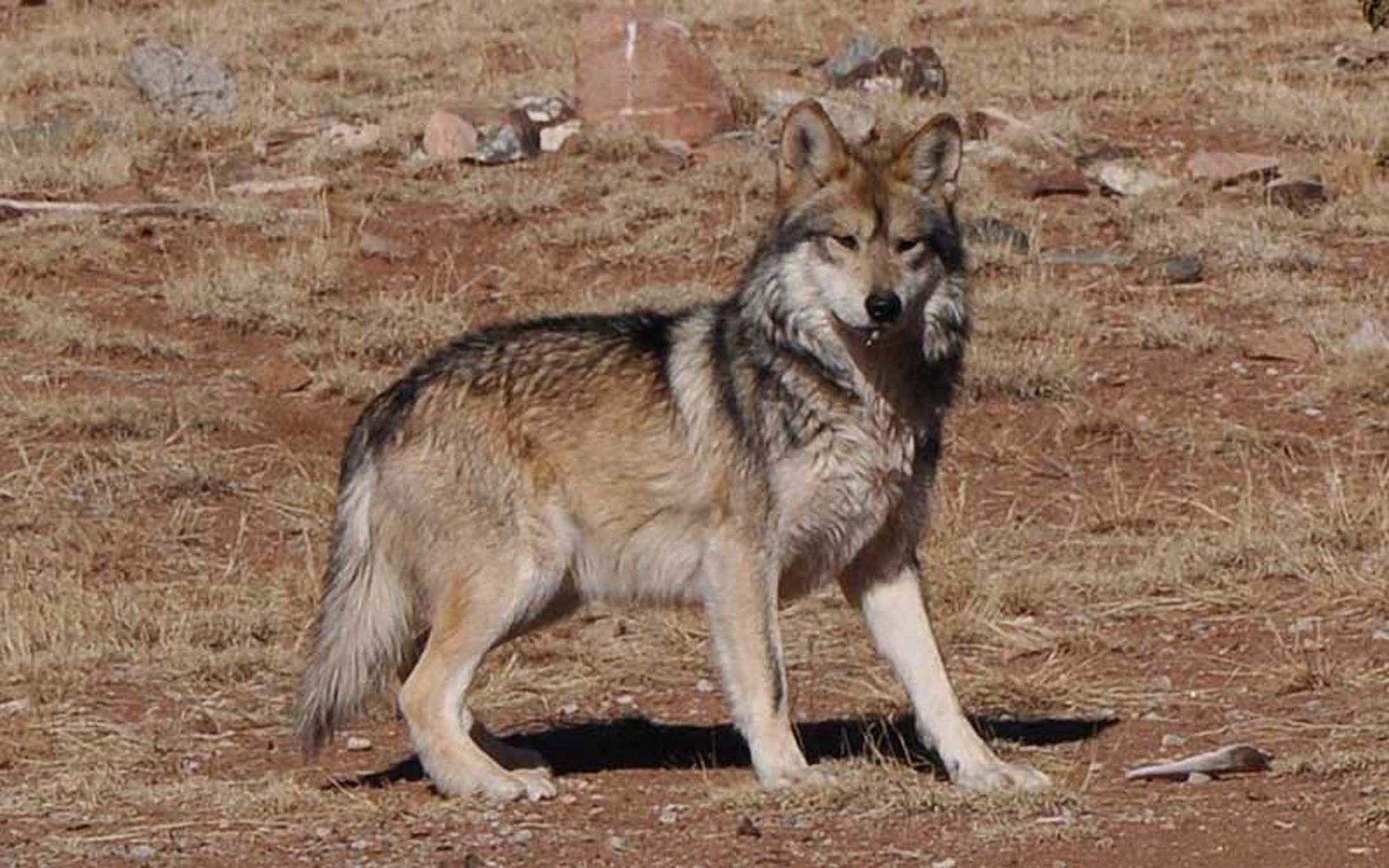 Arizona Attacks Mexican Gray Wolves