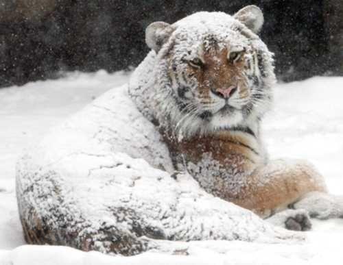 tiger-having-fun-in-the-snow