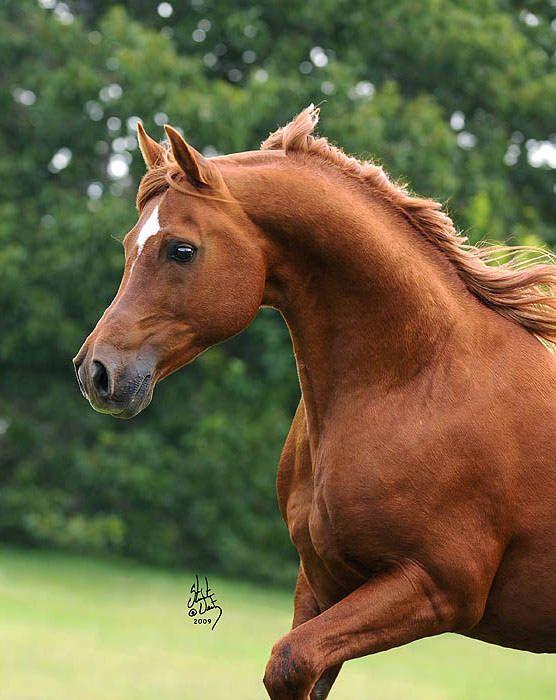 Arabian stallion Apollo
