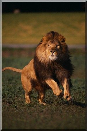 lion african my lions pinterest lion depart et animal