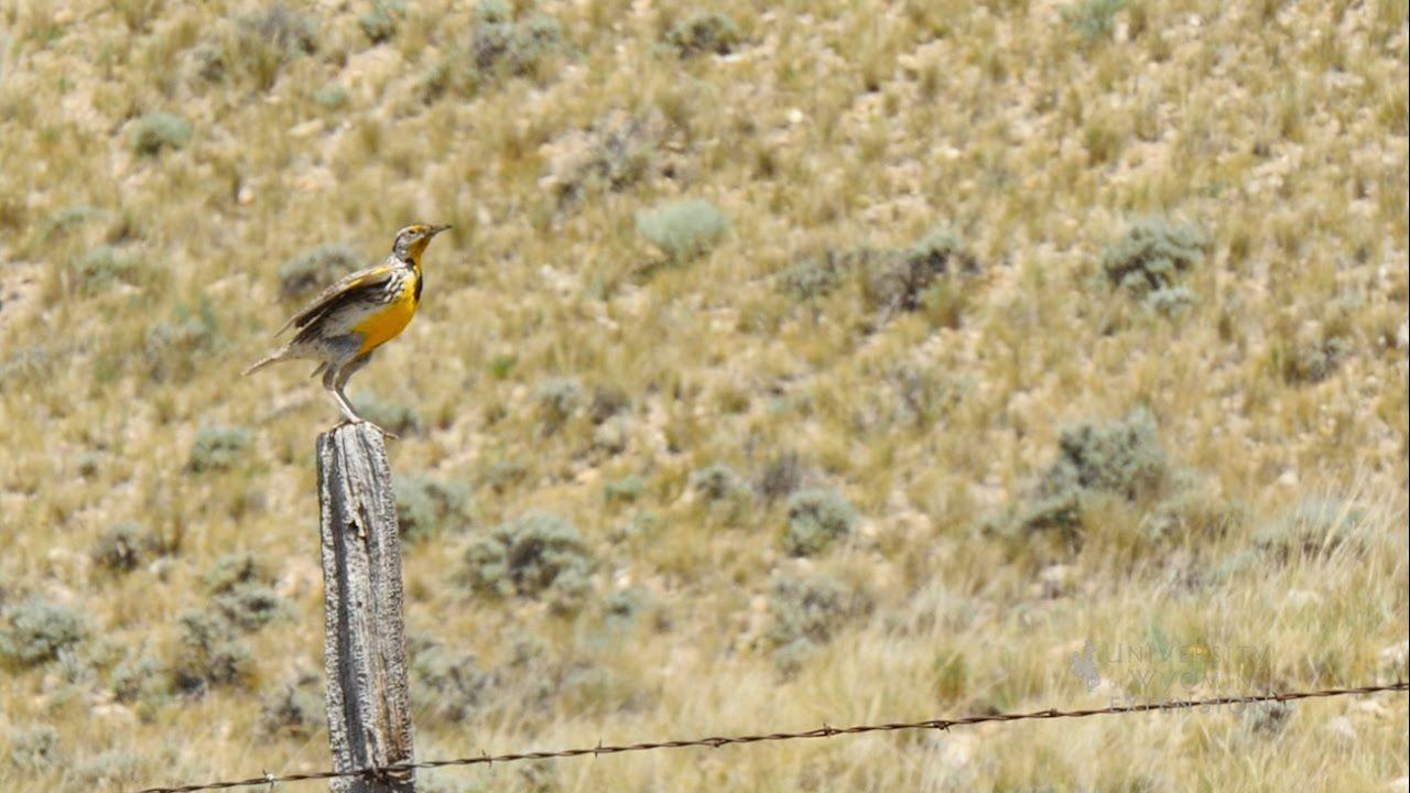 Western Meadowlark Meadowlark, Westerns, Nature