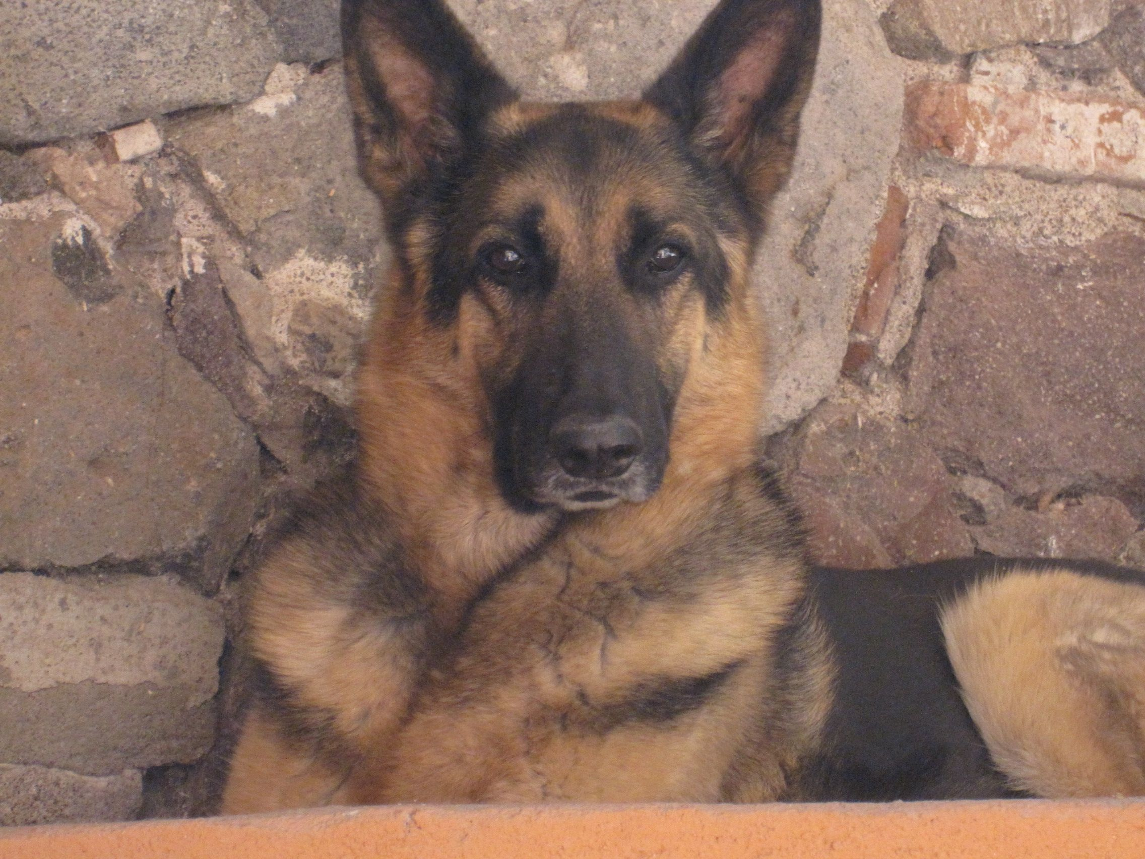 Pin On German Shepherd Part 1