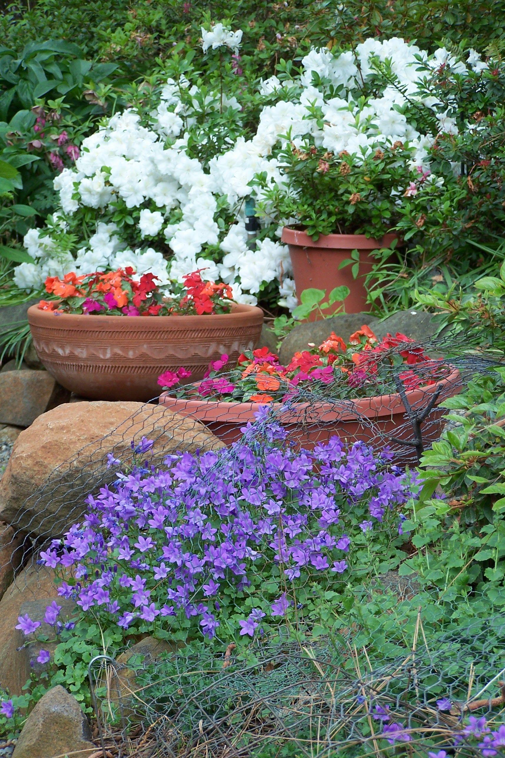 Backyard Campanula, Impatiens,and Azalea