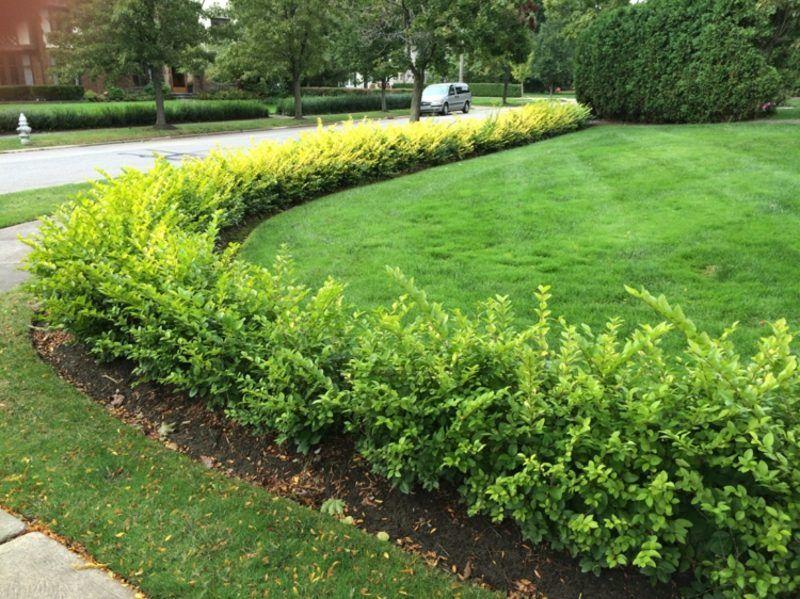 Sichtschutz im Garten Ligusterhecke pflanzen und pflegen