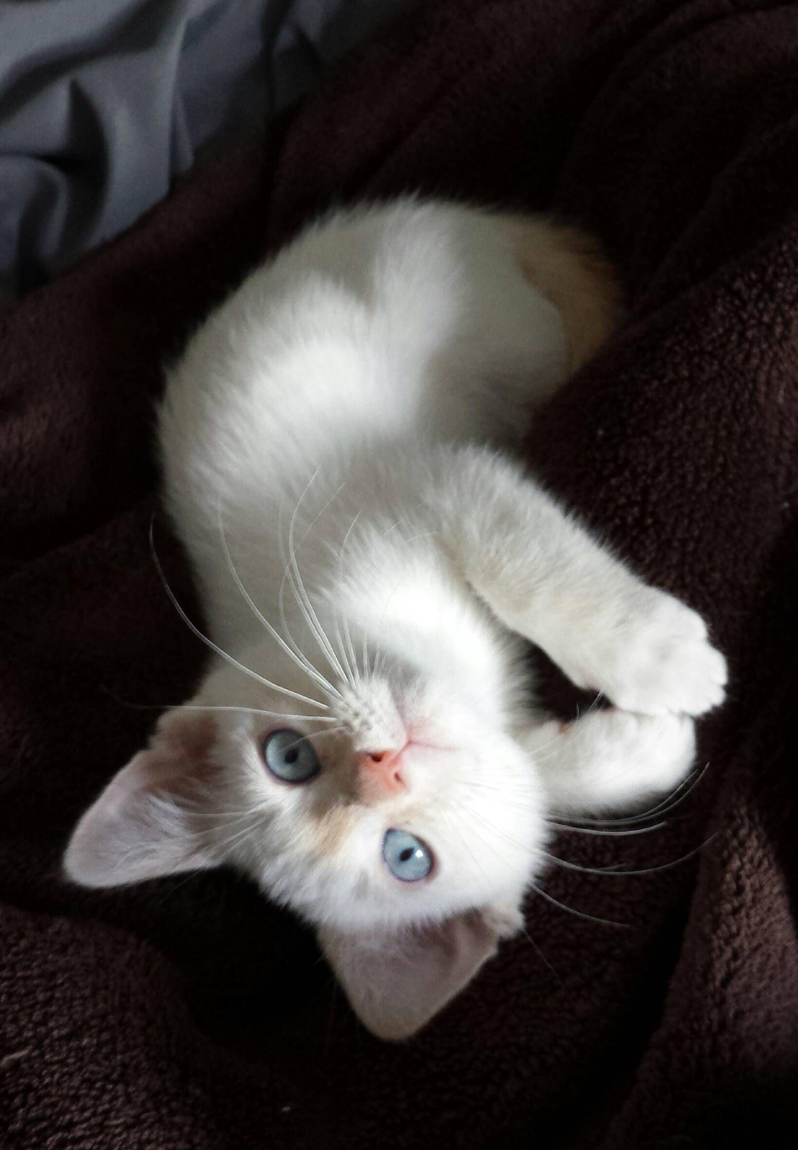 Blue Eyed Cutie Kittens Cutest Beautiful Cats Cute Animals