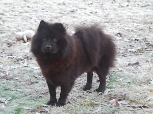 Adopt Zsa Zsa On Chow Chow Dogs Animals Dogs