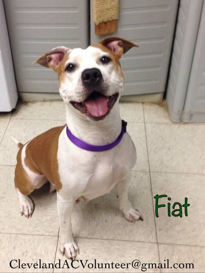 Safe Fiat Urgent Urgent Needs Foster Rescue Adopter Email Clevelandacvolunteer Gmail Com If You Can Help K146 Fiat Is A 2 3 Y O 43 Lb Female Fiat Is A
