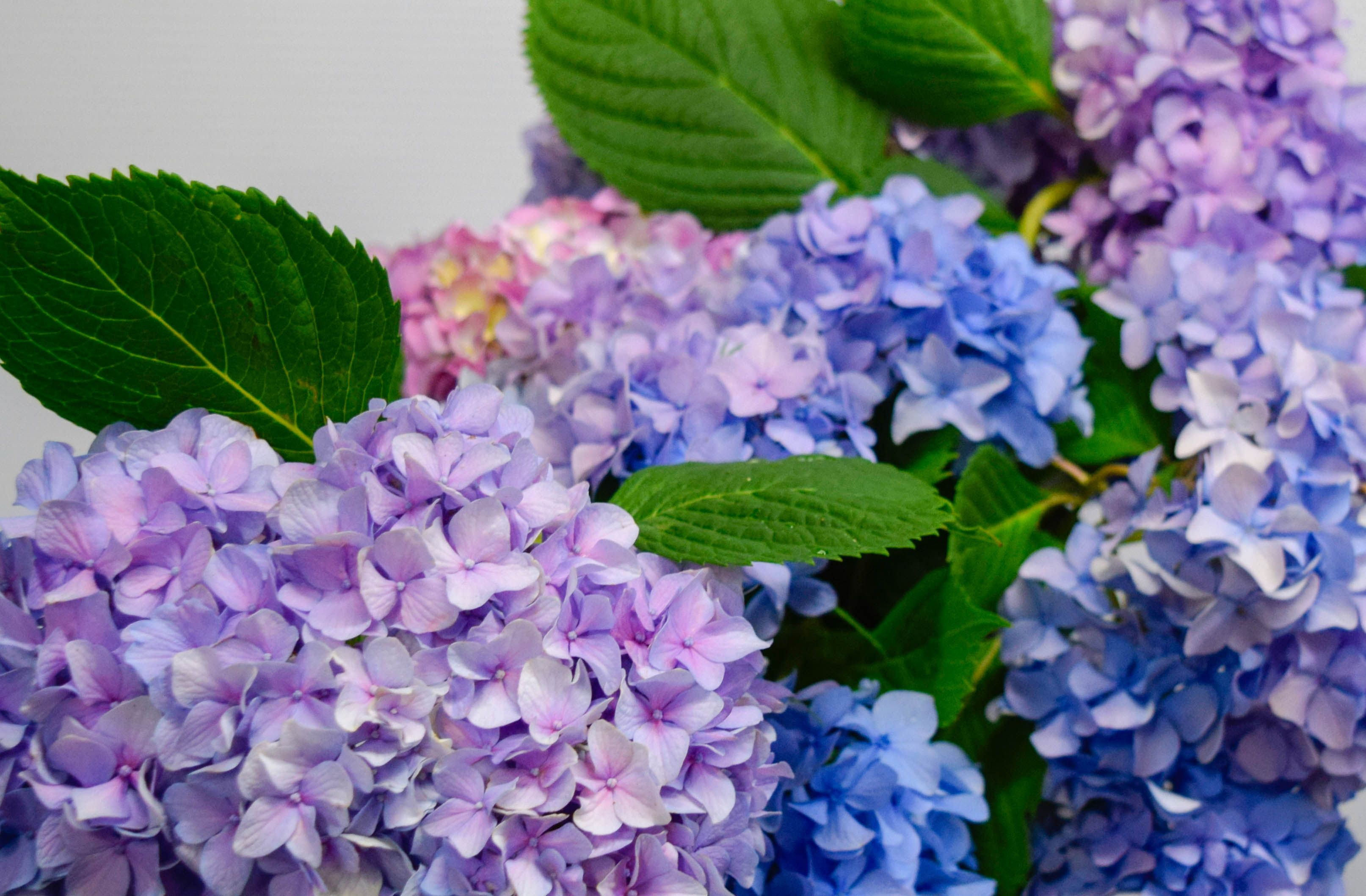 Hydrangeas First Discovered In Japan The Name Hydrangea Comes From The Greek Hydor Meaning Water And Angos Meaning Jar O Flower Delivery Flowers Beautiful Flowers