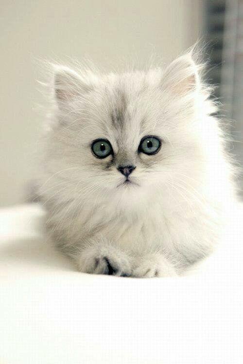 White Kitten Dengan Gambar Kucing Cantik Anak Kucing Lucu
