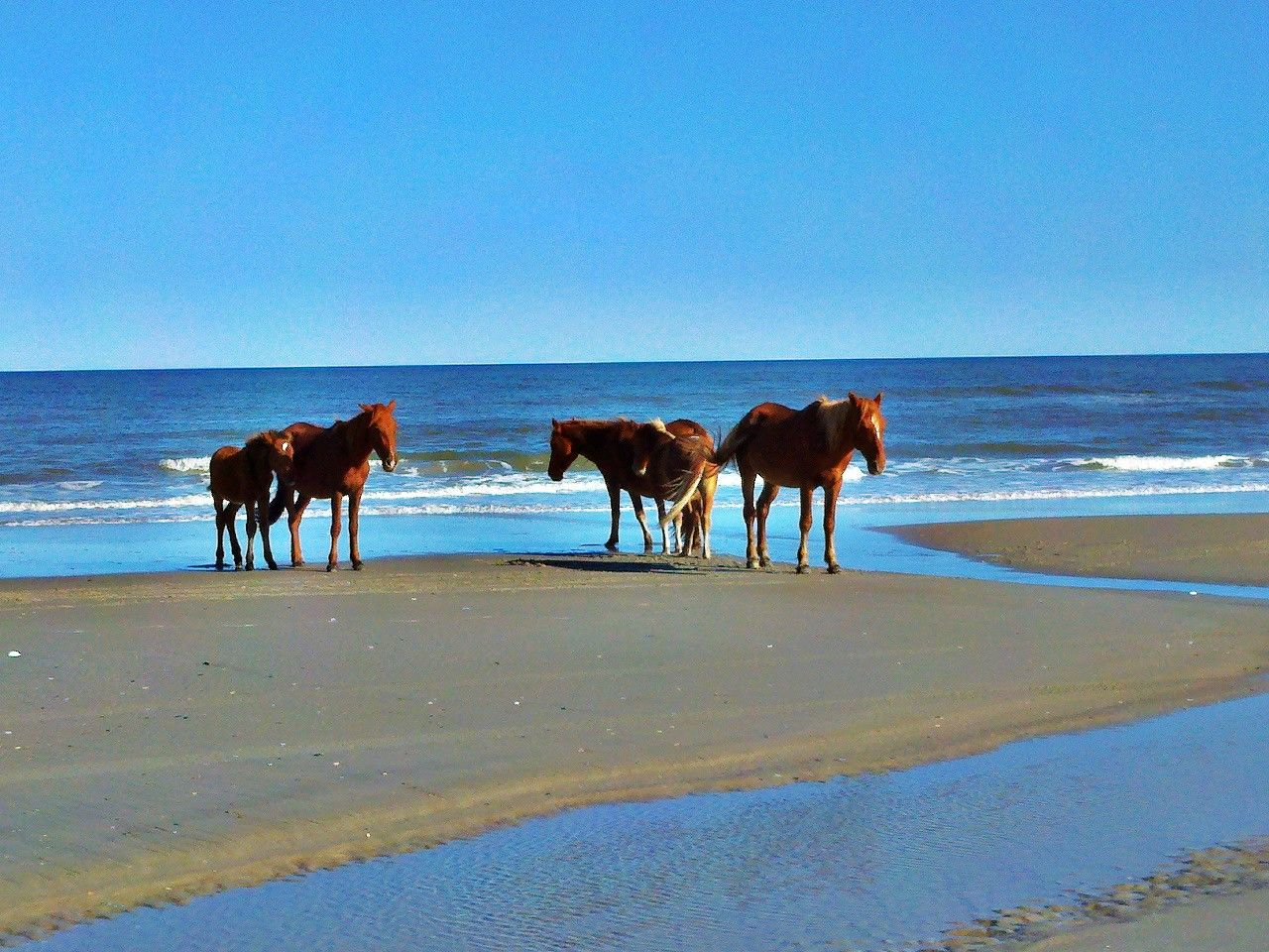 Wild Horses At Corolla Beach North Carolina I Think This Is What Got Me To Read Misty Of Chincoteague By Marguerite Henry
