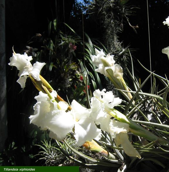 Vivero ex tica tillandsioidea tillandsia xiphioides for Vivero de plantas exoticas