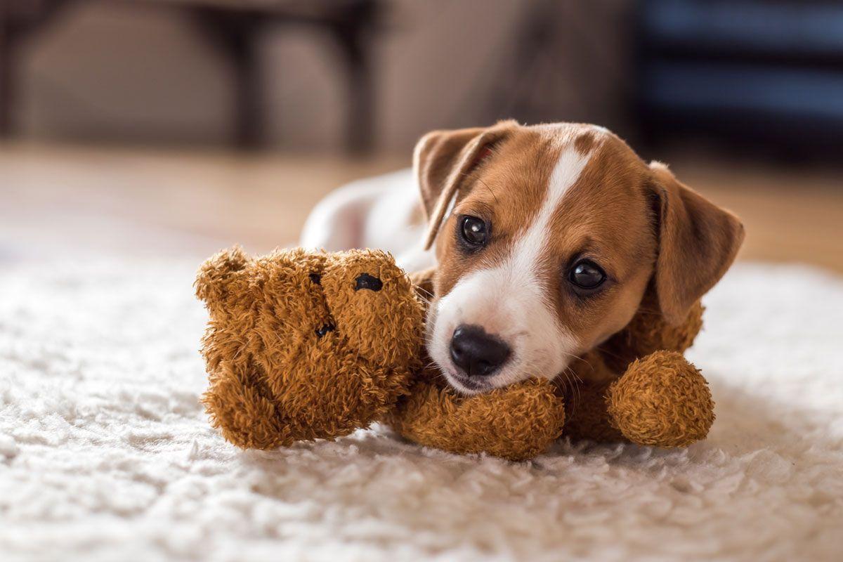 Jack Russel Welpe Mit Teddybar Welpen Jack Russell Terriers Welpenbilder