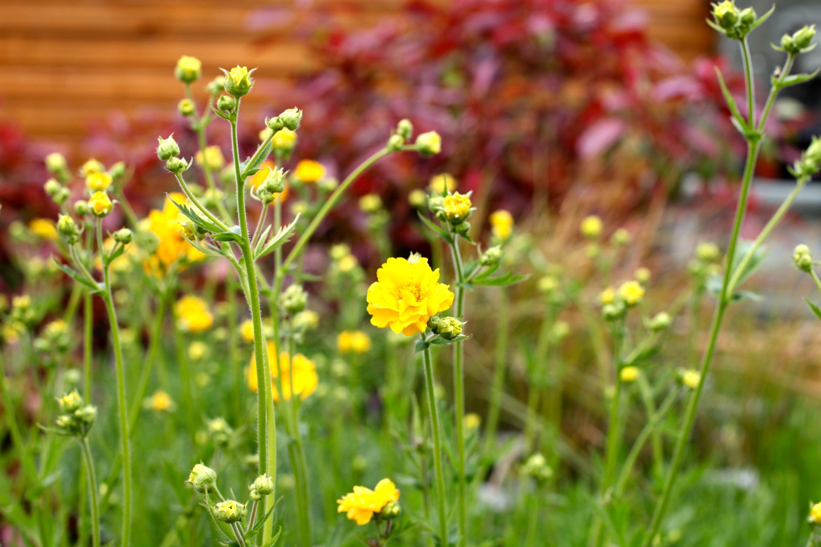 Geum chiloense lady stratheden yellow flowers may sept comes geum chiloense lady stratheden yellow flowers may sept comes back every mightylinksfo
