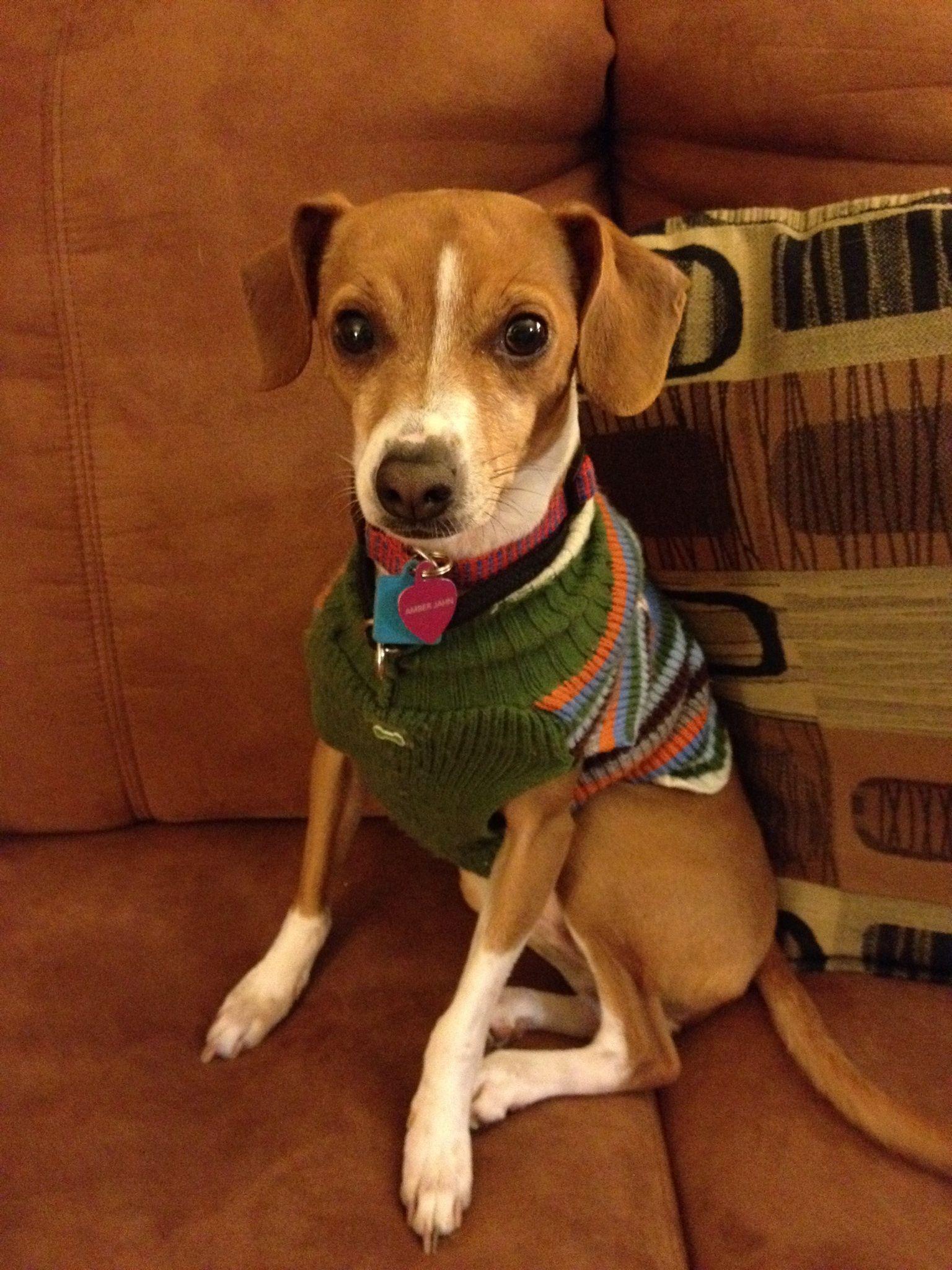 Italian Greyhound Beagle My Baby Girl Amber Beagle Puppies