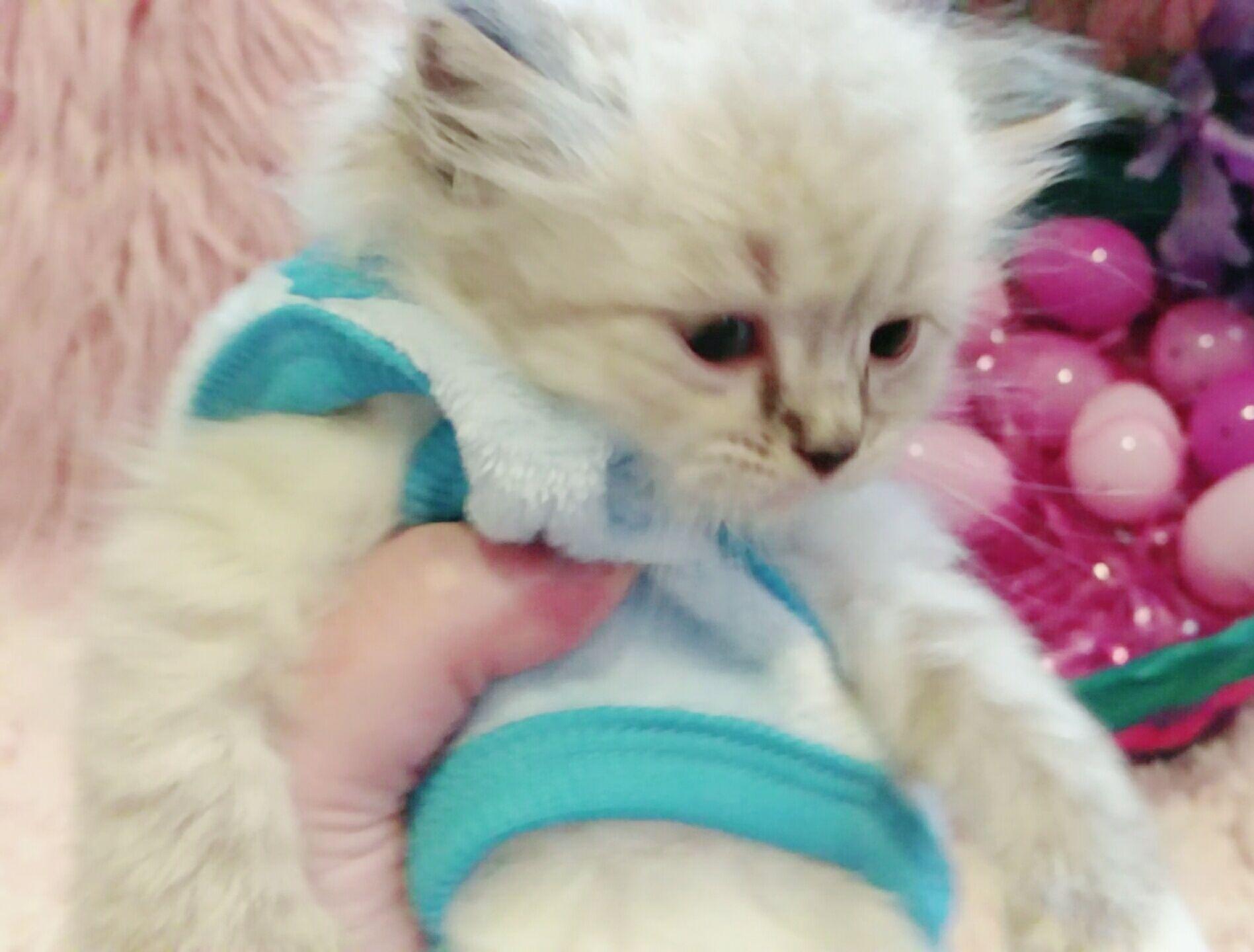 Little Baby Boy Kitten Ragdoll Cat Cats Pets Cats