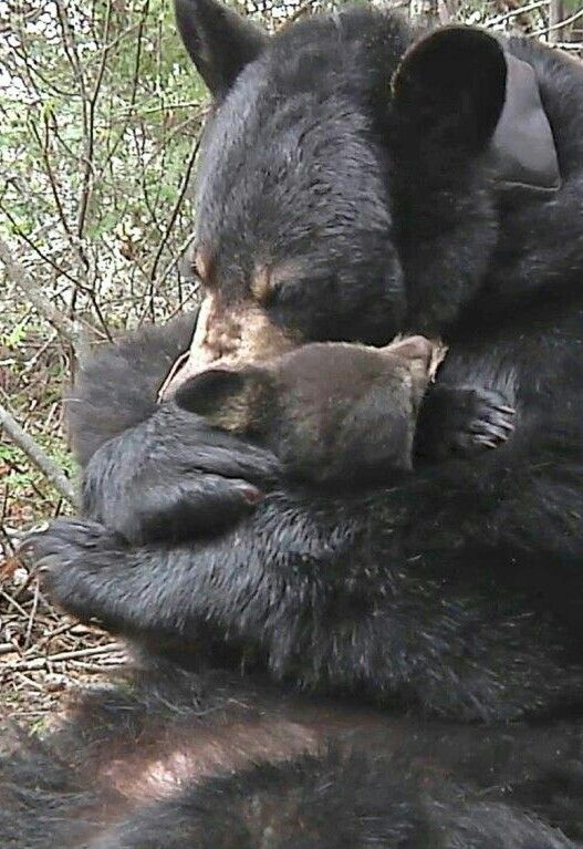 Beautiful Black Bear and Cub Share a Tender Cuddle!