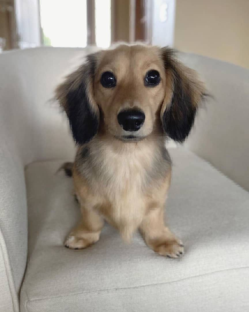 Healthy miniature dachshund puppies for sale in 2020