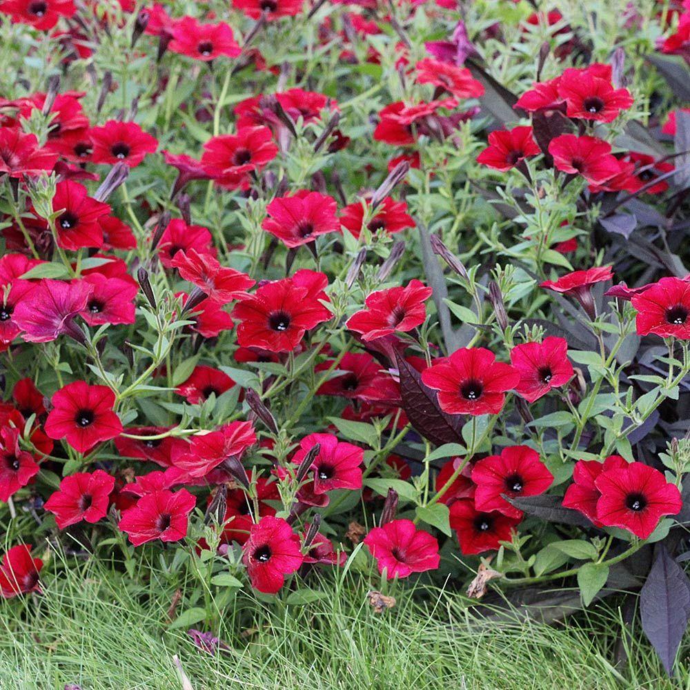 Petunia tidal wave red velour white flower farm