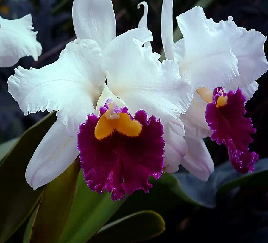 Cattleya Orchids Cattleya Orchid Beautiful Orchids Orchid Flower