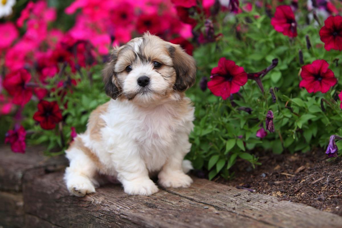 Puppy Sits In Garden Puppy Sitting Designer Dogs Breeds Shih Tzu