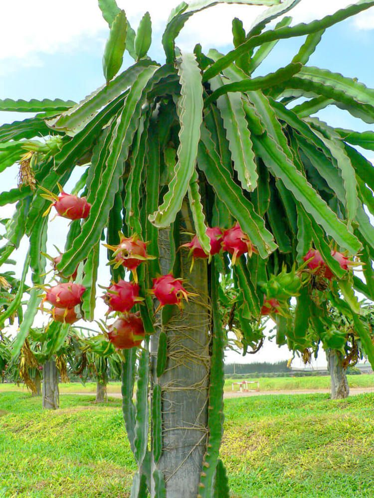 d07e36a9967b3 4   Dragon Fruit Cactus Cutting Plant White Flesh Hylocereus undatus Pitaya   Cactus