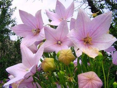 Juillet-Août_Platycodon Grandiflorus 'Fuji Pink' - Hauteur 55cm - Largeur 40cm_Croissance moyenne