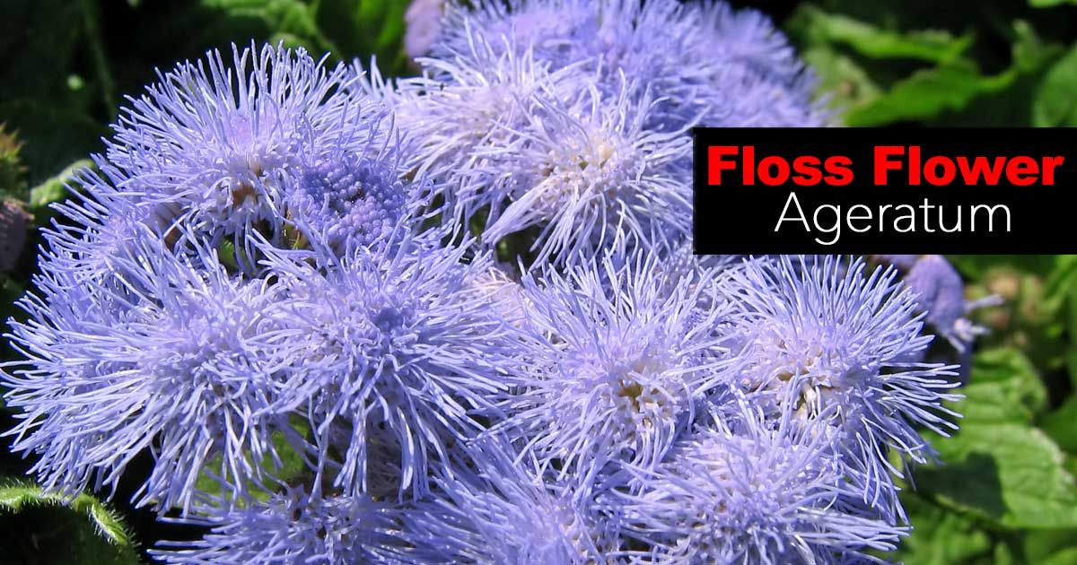 Floss Flower How To Care For Ageratum Houstonianum With Images Annual Flowers Mosquito Repelling Plants Best Mosquito Repellent Plants