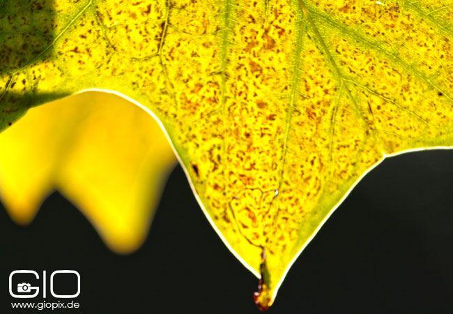 Wieso sich die Blätter im Herbst rot färben - GioPix Fotografie und Video Blog http://www.giovanni-malfitano.de/2015/10/11/wieso-sich-die-bl%C3%A4tter-im-herbst-rot-f%C3%A4rben/
