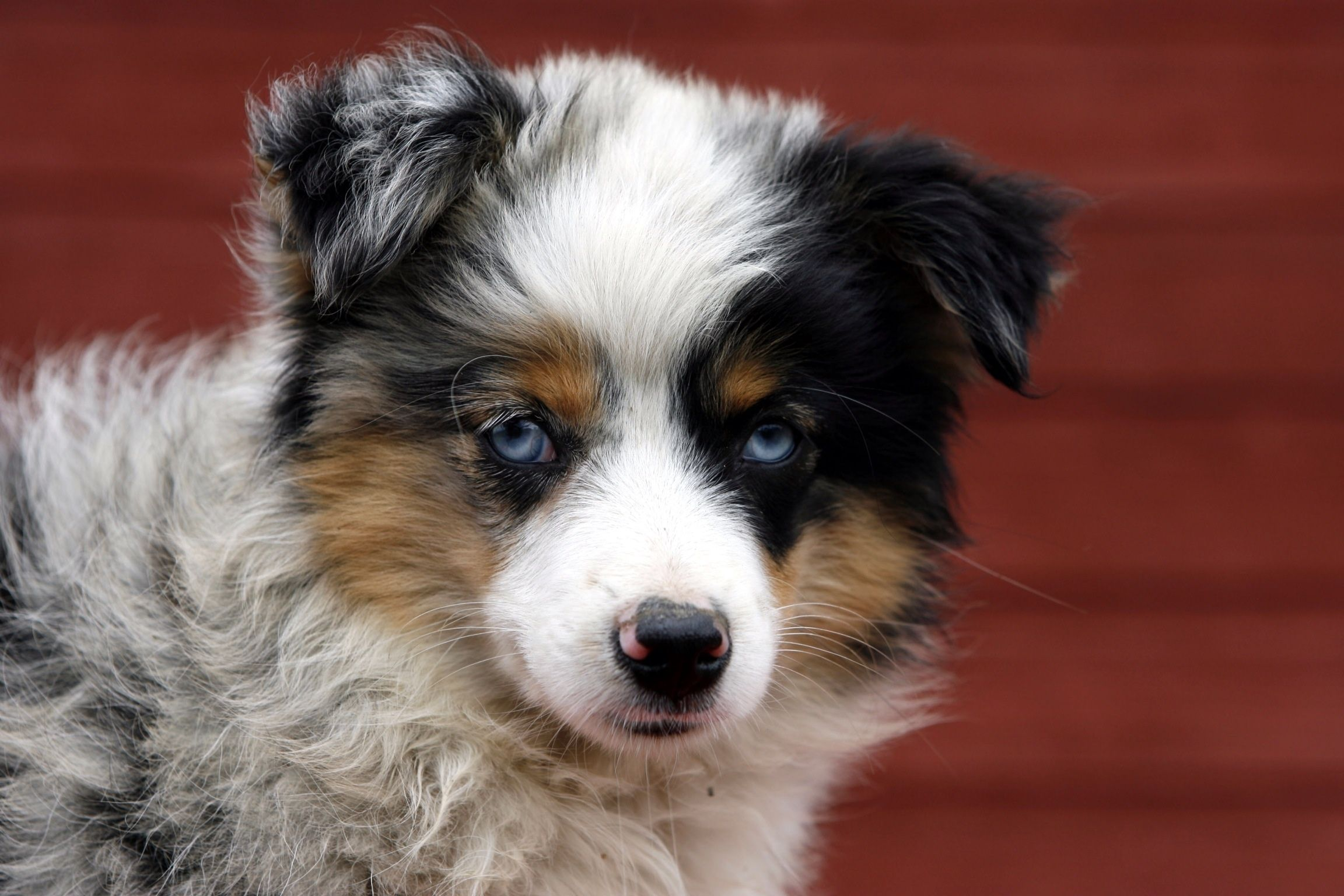 Beartooth Toy Aussies Specialize In Raising Quality Small Toy Australian Shepherds That Have A Great Person Toy Australian Shepherd Australian Shepherd Dog Cat