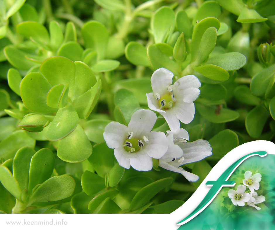KeenMind contains a special extract called CDRI 08™ which is made from the  plant Bacopa
