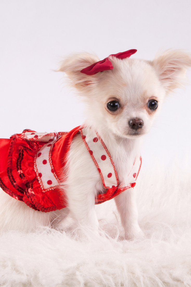 Small White Doggie Of Breed Of A Chihuahua With Long Wool In A Red Dress And A Red Bow Cute Chihuahua Chihuahua Breeds Chihuahua Puppies
