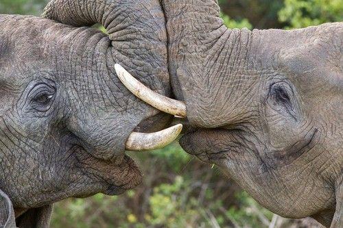 Elefantes 'se beijam' e trocam afetos em reserva na África do Sul - Fernando Moreira: O Globo