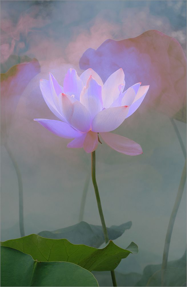Surreal Lotus Flower - DD0A1560-1-1000 | by Bahman Farzad
