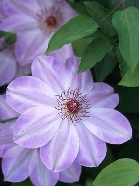 Clematis Dawn Type: Shrubs,Vines,Perennials Height: Vine 6' (Plant 4' apart) Bloom Time: Late Spring to Early Summer Rebloom Time: Late Summer Sun-Shade: Full Sun to Mostly Sunny Zones: 4-10 Find Your Zone Soil Condition: Normal Flower / Accent: White / Pink