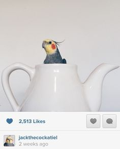 Aww...another great photo of jack the cockatiel!