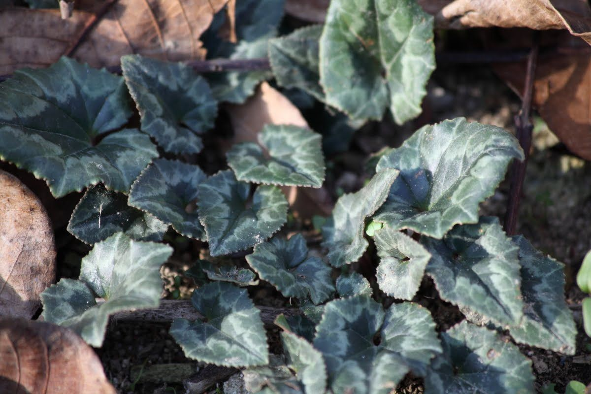 Photo of ciclamino Cyclamen hederifolium