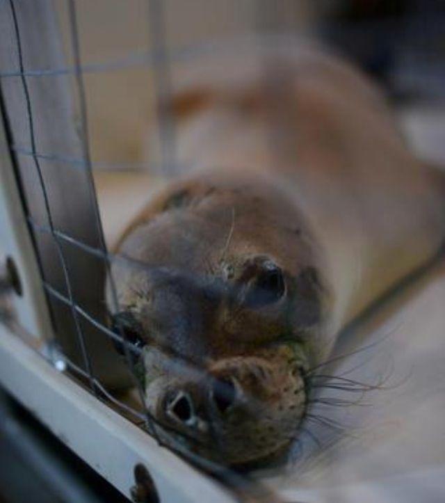 Cutie pie- monk seal, maruchan