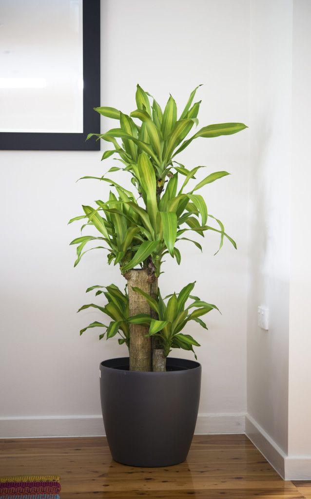 5 Big And Beautiful Indoor Plants Large Indoor Plants 400 x 300