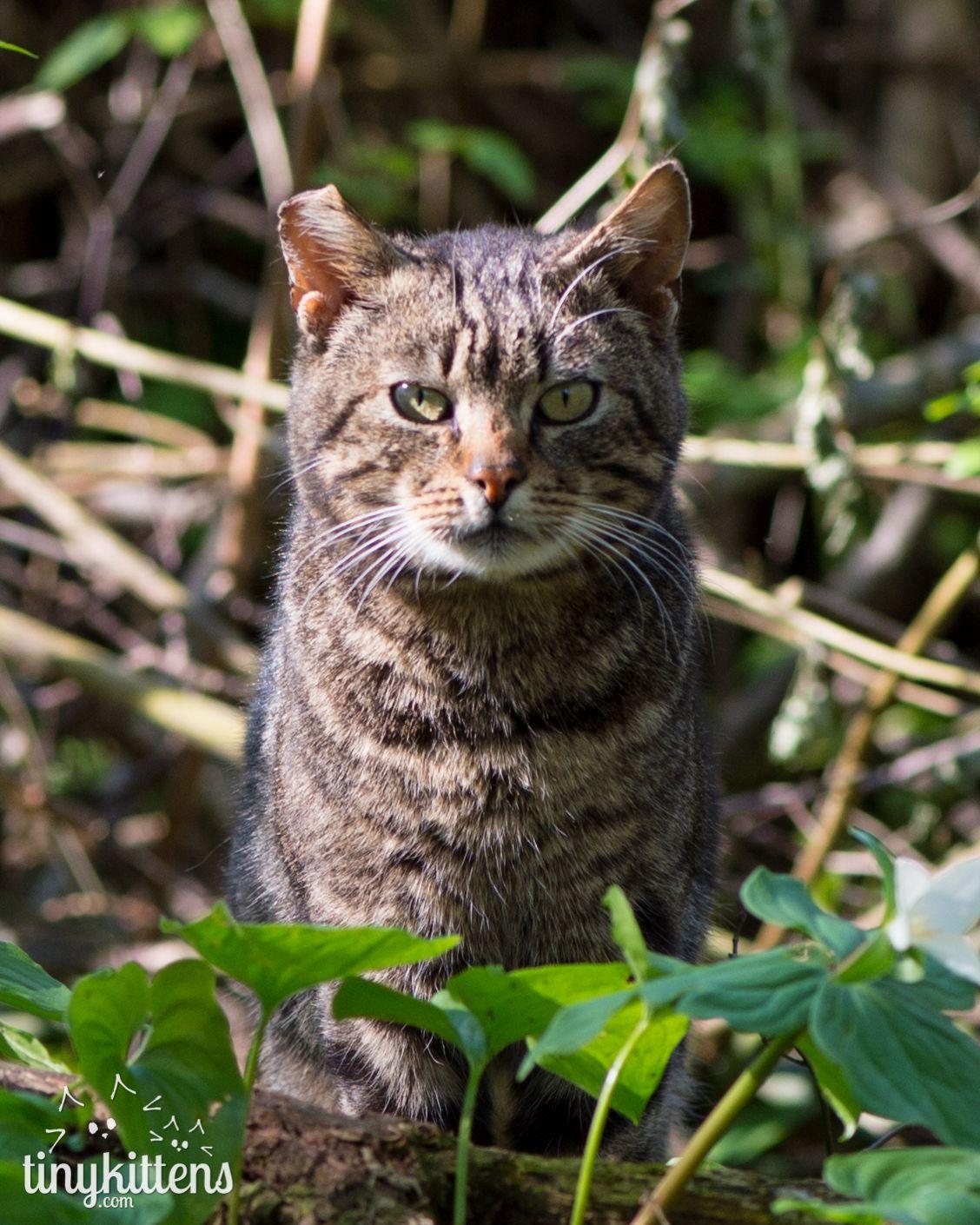 Manway Wilde katzen, Wildkatzen, Katzen