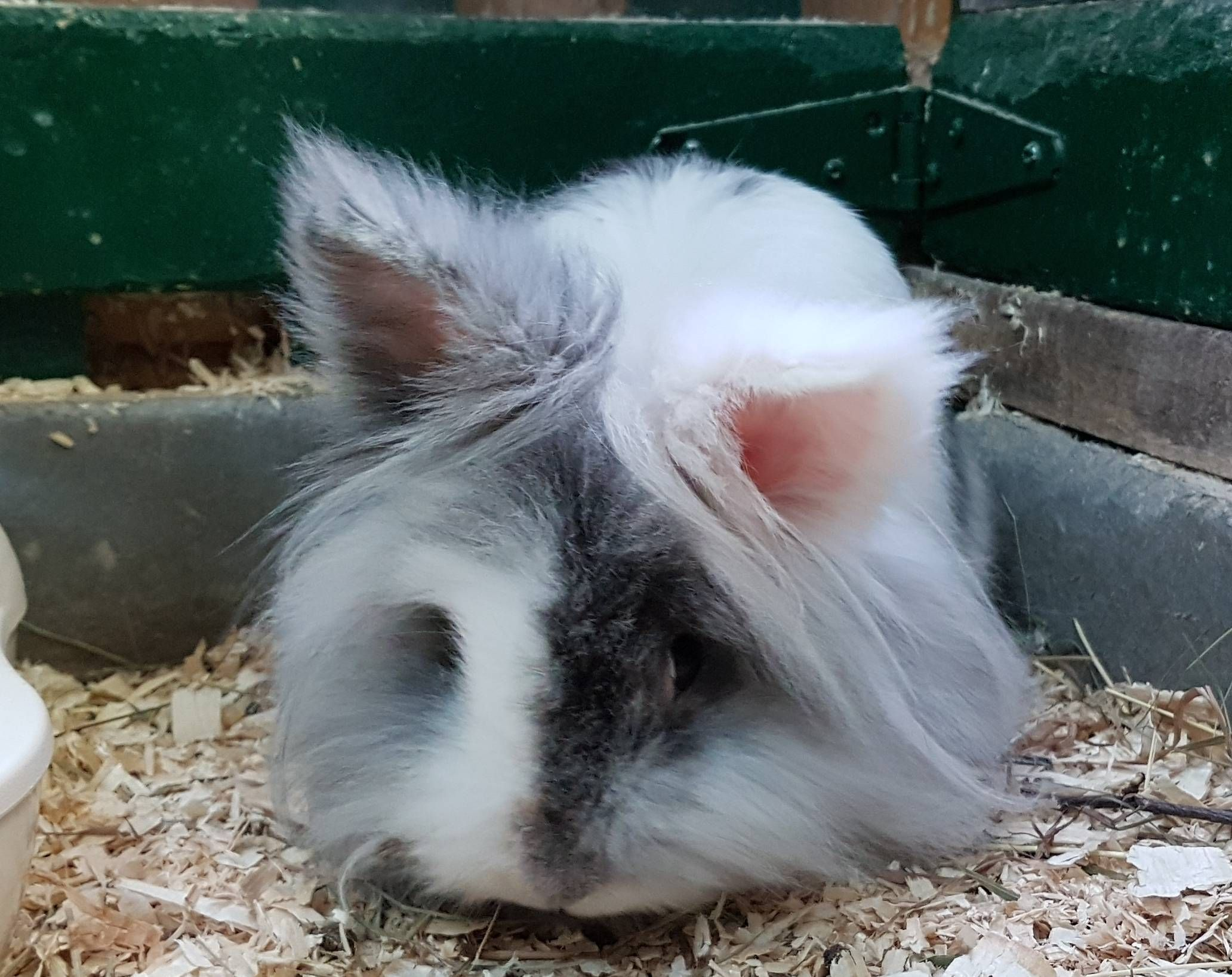 Pin by Kalee Brewer on Rabbit breeds AZ Lionhead rabbit